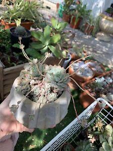 Concrete Planter with Echeveria Prolifica Clusters