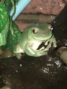 Northern Green tree frogs and custom enclosure Kelmscott Armadale Area Preview