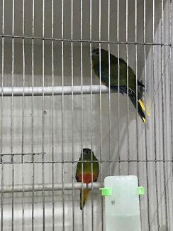 Small parrots