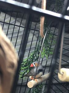 Breeding Pair of Zebra Finches