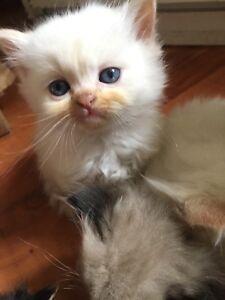 Ragdoll & Himalayan Kittens