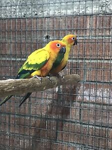 Conures Rooty Hill Blacktown Area Preview