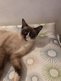 Available For Adoption  Colby   Cats  amp  Kittens   Gumtree Australia     Gumtree
