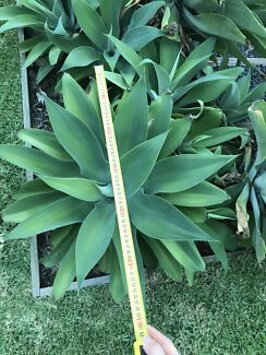 Agave plant for sell...