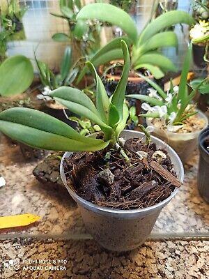 pianta Orchidea miniatura specie botanica rara Amesiella monticola
