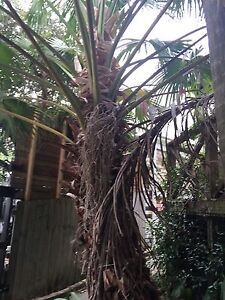Free Palm trees, shrubs and plants. Some free. Bondi Beach Eastern Suburbs Preview