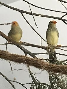 ORANGE FACE STAR FINCH PAIR
