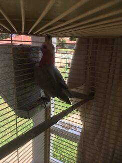 Wanted: Galahs for sale