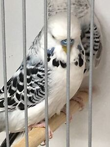 Clearbody budgies from show breeder Camberwell Boroondara Area Preview