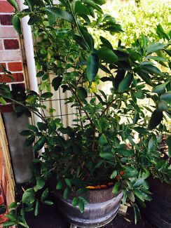 Mature lime tree in large wine barrel for sale