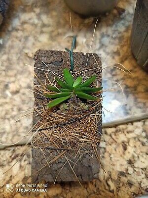 pianta Orchidea miniatura specie botanica rara schoenorchis tixierii