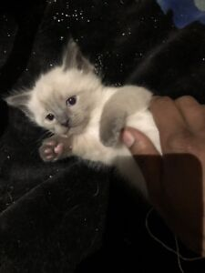 3 Ragdoll kittens left .