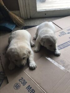 Yellow labs for sale