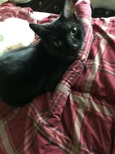 2 Free Male Black Cats