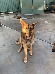 German Shepherd Male for sale -Accept any reasonable price offer