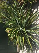 Agave plant Townsville Townsville City Preview