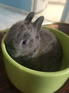 Two Dwarf Mix Rabbits For Sale