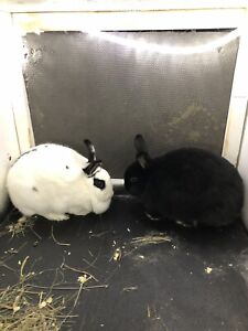 Free 3 year old rabbits located in Grande Prairie