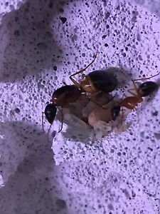 Ant queen antfarm formacarium sugar ant Kaleen Belconnen Area Preview
