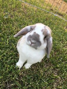 2 Beautiful Rabbits 4 Sale! Oxley Park Penrith Area Preview