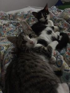 Two kittens to a good home only (required: lots of love) Kings Park Blacktown Area Preview