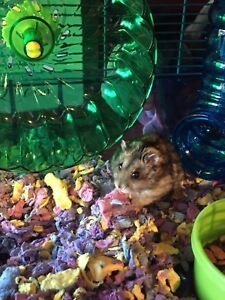 2 male hamsters for sale