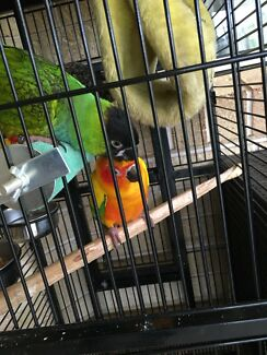 Nanday and Sun conures hand raised