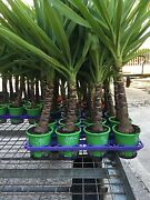 Yucca yukka plants for Perth region grower direct .shrubs trees Currambine Joondalup Area Preview