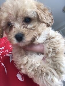 Female Toy Cavoodle Supercute and tiny!