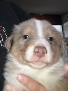 Registered Australian shepherd. Male merle