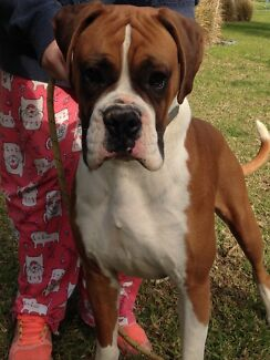 16 month old Boxer with papers Lewiston Mallala Area Preview