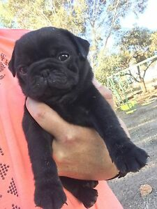 Pedigree pug puppy Midland Swan Area Preview