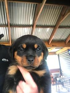 Rottweiler Puppies Dogs Puppies Gumtree Australia Hume Area