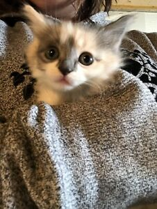 Manx/Himalayan mix kittens (coming soon)