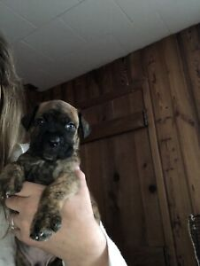 Cane Corso Kijiji In Ontario Buy Sell Save With Canadas 1
