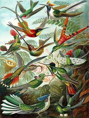 COLOUR PLATE ERNST HAECKEL KUNSTFORMEN NATUR HUMMINGBIRDS PRINT POSTER BB2040B