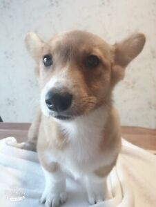 corgi puppies looking for home,can dilivery