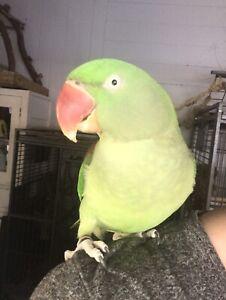 alexandrine parrot for sale | Birds | Gumtree Australia Free