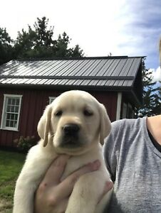 Beautiful CKC Yellow Lab Puppies Ready to Go!