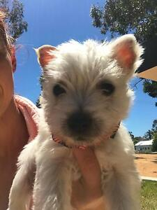 pedigree west highland white terrier puppies Mulwala Corowa Area Preview