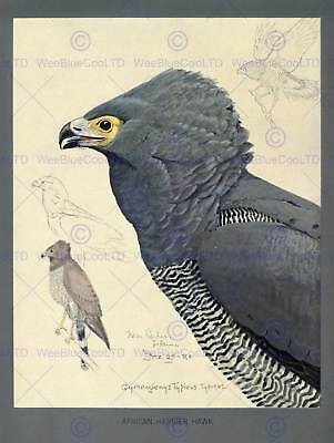 PAINTING ABYSSINIA BIRD FUERTES AFRICAN HARRIER HAWK ART PRINT LAH674