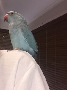 Tame Indian ringneck parrot Narre Warren Casey Area Preview