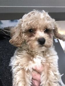 Toy/Miniature Poodle Puppies Pure Breed