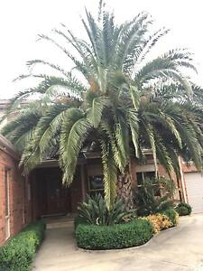 Large palm tree for sale Dandenong Greater Dandenong Preview
