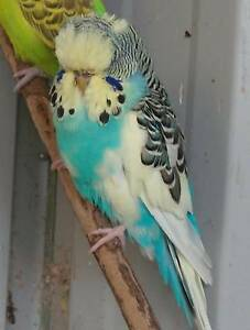 Adult Club Rung Budgies for Sale Canning Vale Canning Area Preview