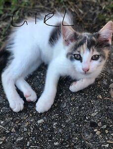 Kittens : Ragdoll X