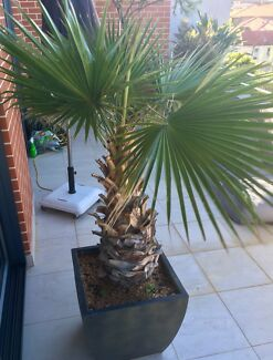 Potted 'Washingtonia' palm