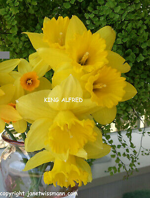 130+ KING ALFRED TYPE DAFFODIL yellow narcissus bulbs plant fromMyGarden*PlsRead