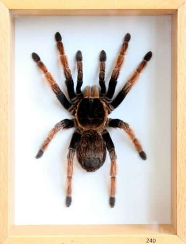 Unique Real Tarantula (Mexican Pink) Taxidermy - Mounted,Framed