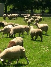 Lamb and sheep for sale Picton Wollondilly Area Preview
